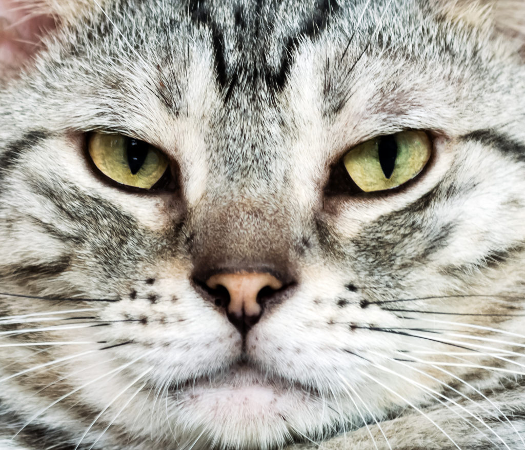 American Shorthair Personality Traits