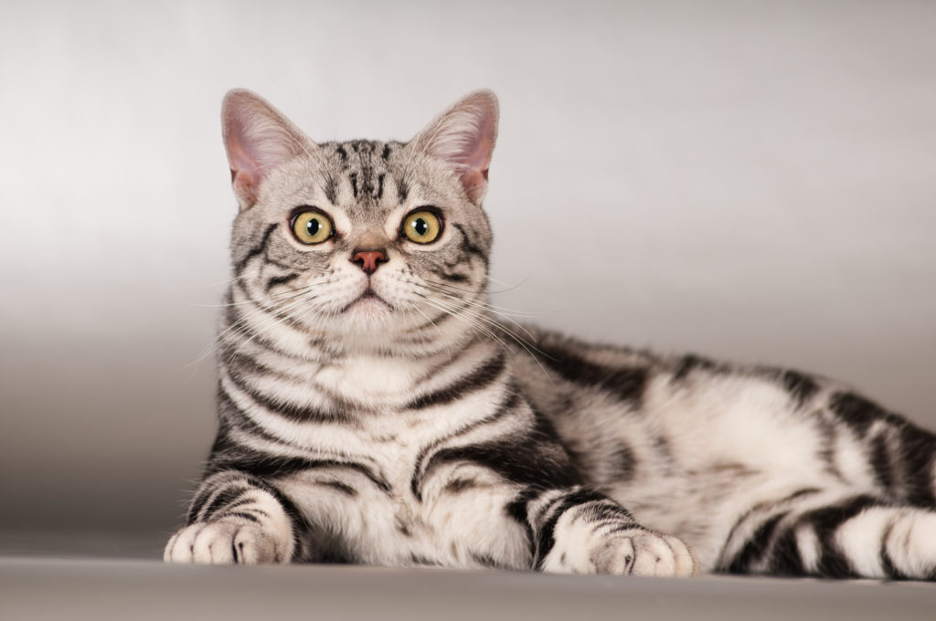American Shorthair Cat Grooming Tips