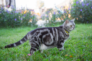 American Shorthair Photo Gallery