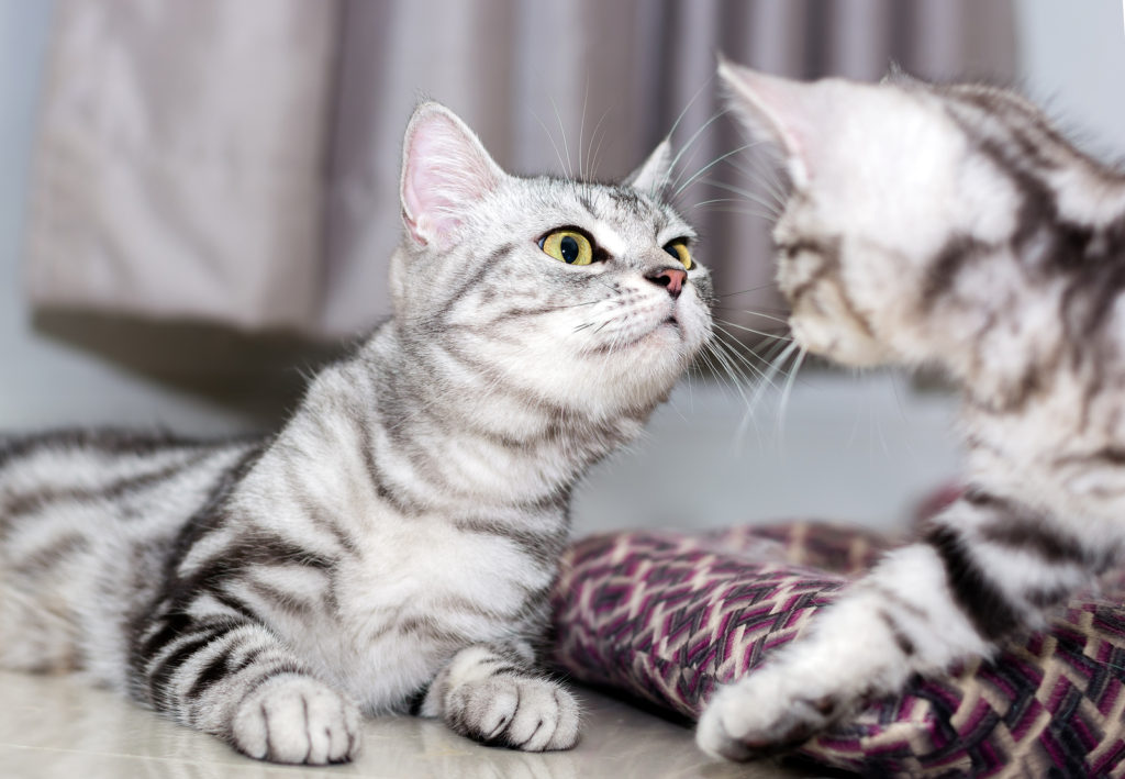 Male vs. Female American Shorthair Cats