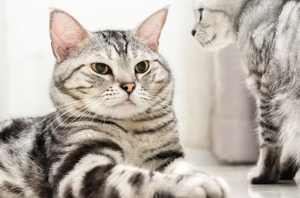 How Big Can American Shorthair Cats Get?