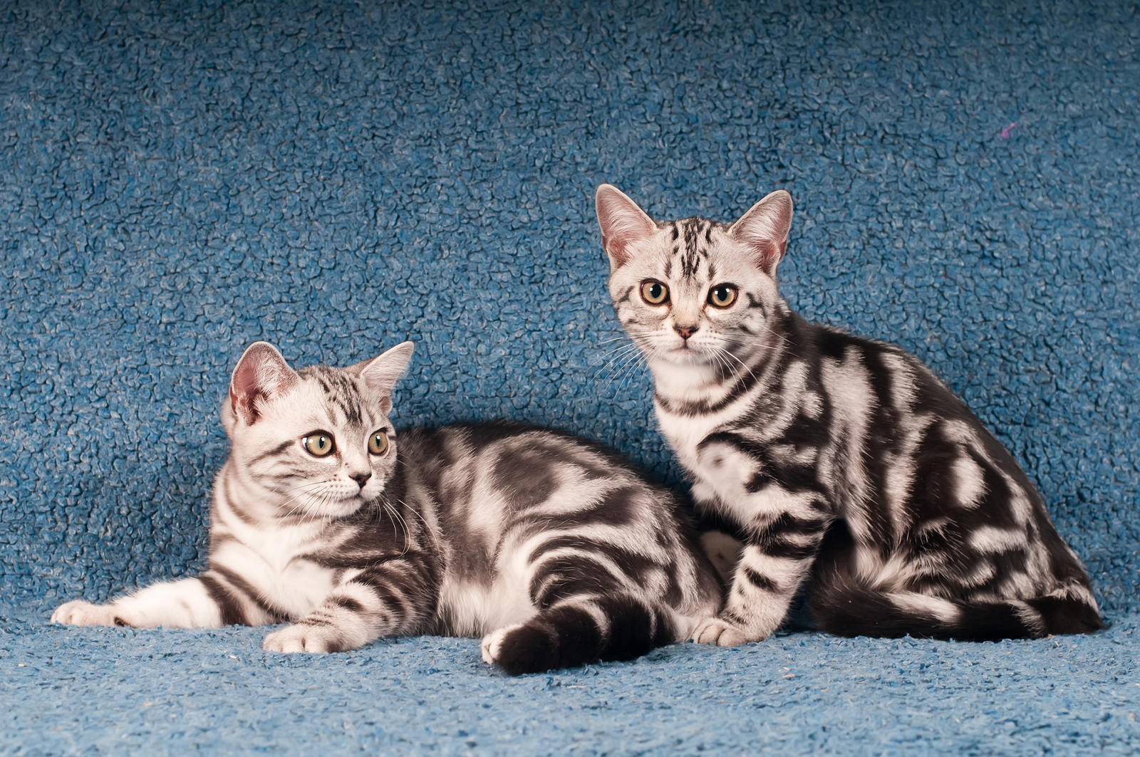 Pair of American Shorthair Kittens