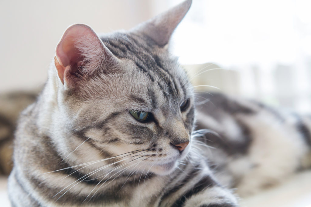 What is the Weight Range for Adult American Shorthair Cats?