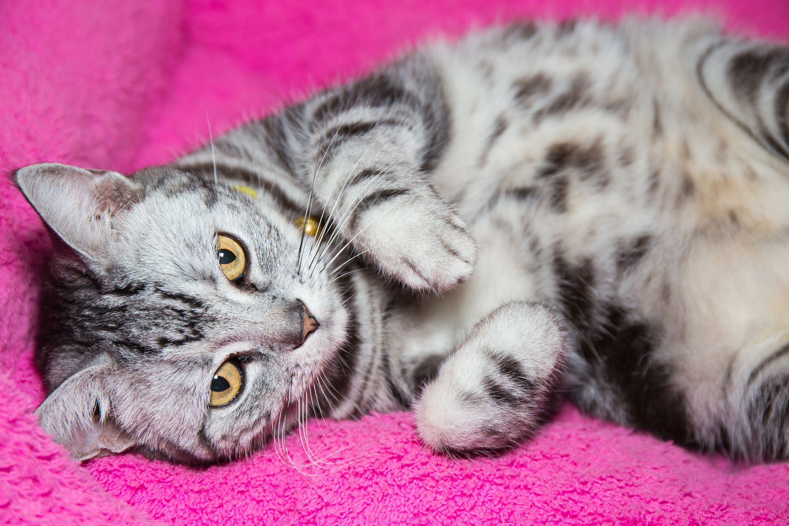 Playful American Shorthair