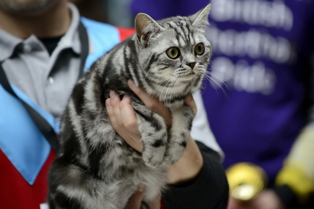 How to Choose an American Shorthair Cat Breeder