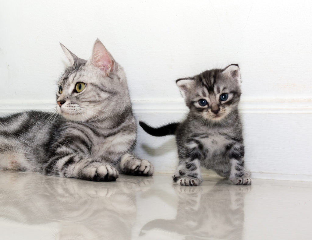 History of the American Shorthair Cat